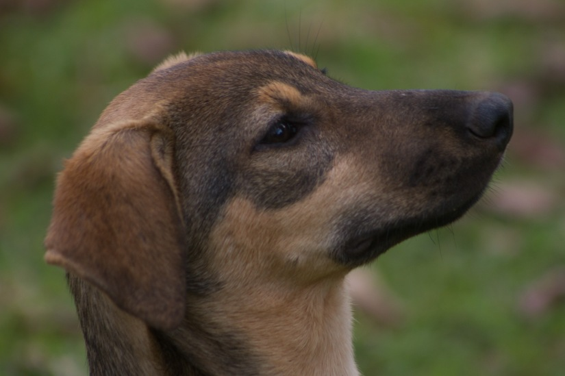 Kenyan Shepherds also make good guard dogs! (Note: the dog in this pictures has already been adopted)