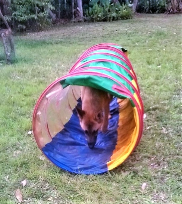 A volunteer took this dog for a little agility training experience