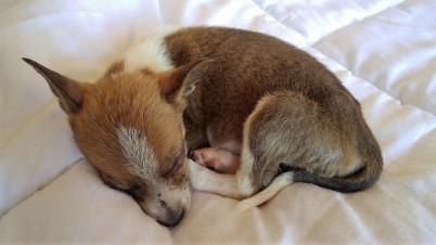 Tiny pup Blitzen having a nap