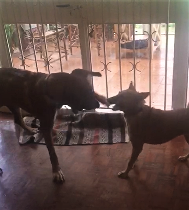 Chebet and the foster's Ridgeback playing while sheltering from the pouring rain
